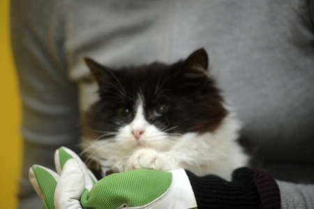 black and white fluffy cat in her arms photo
