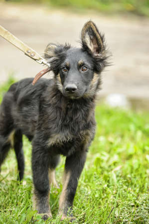 half ball: half-breed shepherd puppy