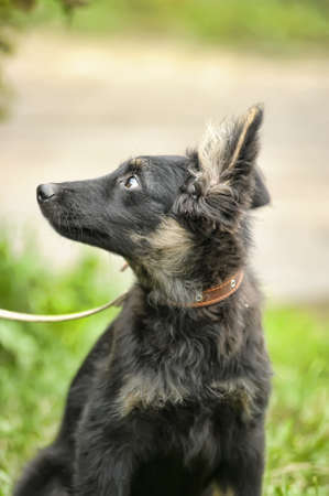 half breed: half-breed shepherd puppy