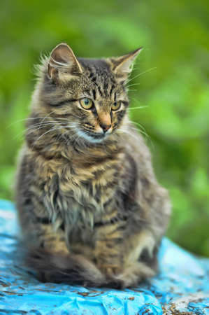 Long Haired Tabby Cat photo