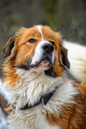 St  Bernard dog photo