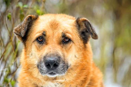 red dog Stock Photo - 16194213