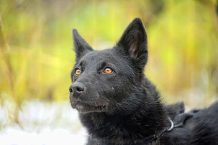Black mongrel dog Stock Photo - 16216763