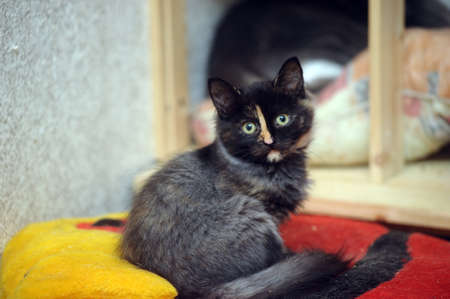 incumbent: black with a red kitten Stock Photo