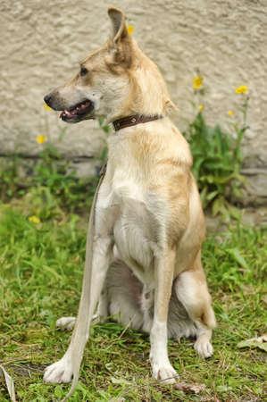 ridgebacks: Half-breed hound dog