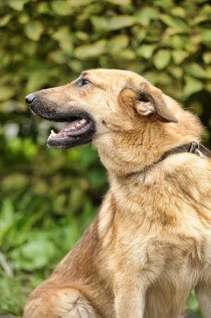 Half-breed hound dog Stock Photo - 16444464