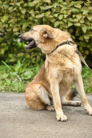 Half-breed hound dog Stock Photo - 16444463
