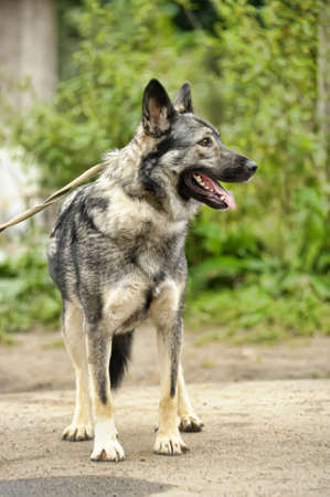 gray mongrel dog Stock Photo - 17215194
