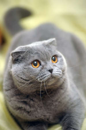 gray British cat photo