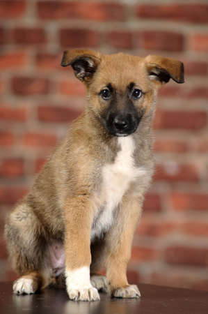 brown puppy with a white breast Stock Photo - 16857937