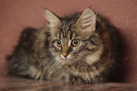 fluffy Siberian kitten Stock Photo - 16495231