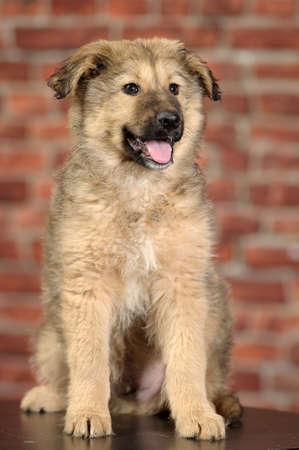fluffy mongrel pup Stock Photo - 17137621