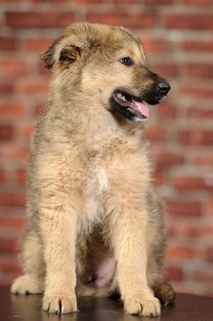 fluffy mongrel pup Stock Photo - 17137619