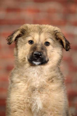 fluffy mongrel pup Stock Photo - 17137601