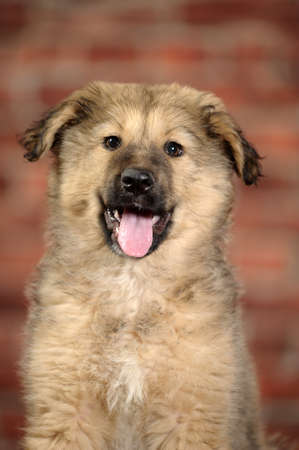 Half-breed shepherd puppy  Stock Photo - 17137604