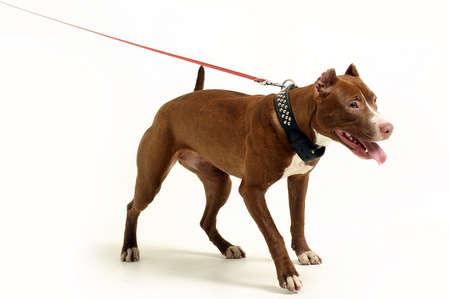 stafford: American Staffordshire terrier