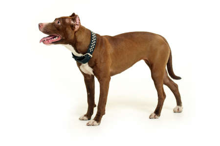 amstaff: American Staffordshire terrier