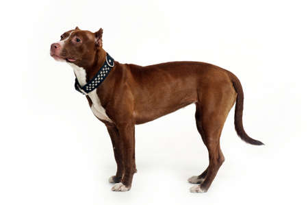 American Staffordshire terrier Stock Photo - 16857555