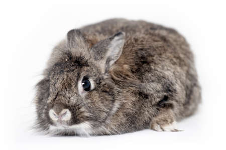 Gray rabbit sitting on white background photo