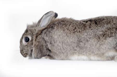 Gray rabbit sitting on white background photo