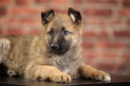 wagging: puppy  Stock Photo