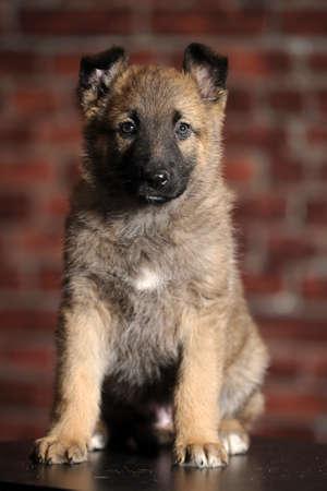 puppy  Stock Photo - 16857390
