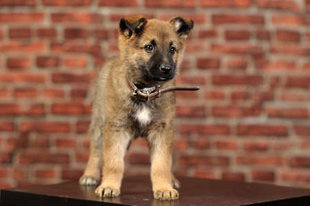 puppy  Stock Photo - 16857434