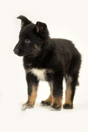 half breed: puppy  Stock Photo