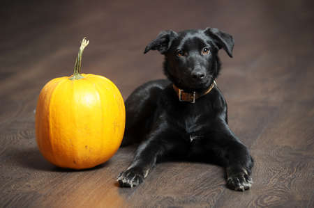 black puppy and a pumpkin Stock Photo - 16858068