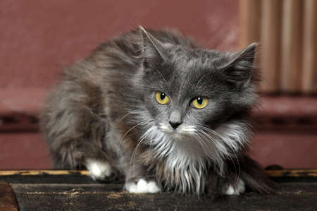 gray and white fluffy kitten Stock Photo - 16889330
