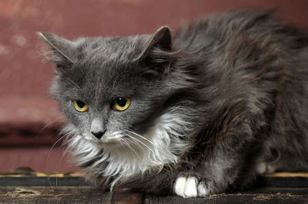 gray and white fluffy kitten Stock Photo - 16889337