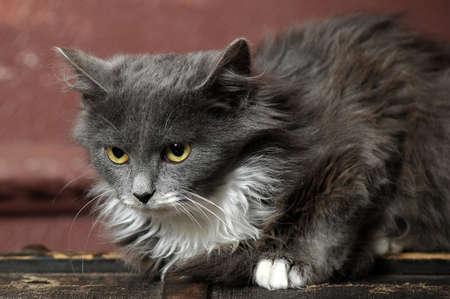 gray and white fluffy kitten Stock Photo - 16889337