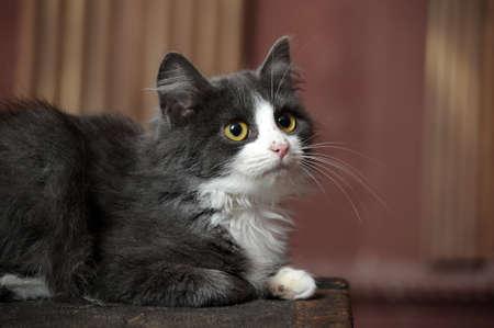 gray and white fluffy kitten Stock Photo - 16889347