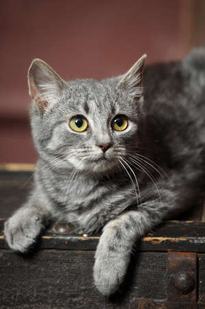 Gray cat Stock Photo - 16828888