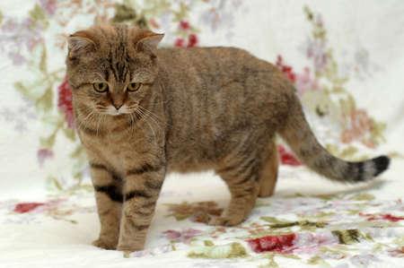 British cat photo