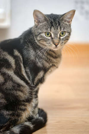 feline: Mackerel Tabby Cat