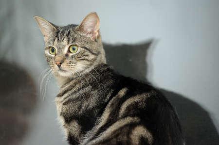 Mackerel Tabby Cat Stock Photo - 16856110