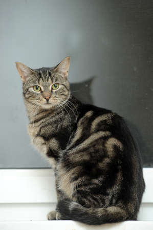 Mackerel Tabby Cat Stock Photo - 16856111