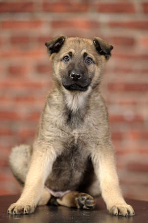 Half-breed German Shepherd puppy  photo