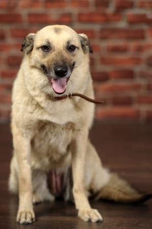 piebald: picazo perro mestizo