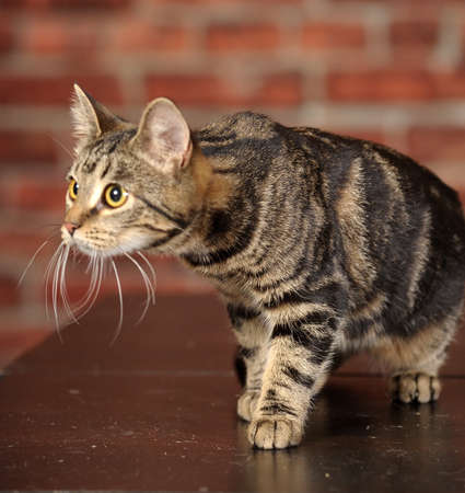 tabby cat Stock Photo - 16856079