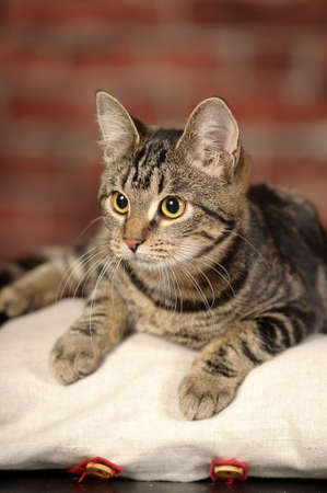 tabby cat Stock Photo - 16856080