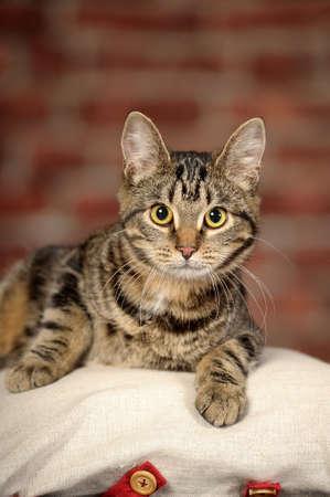 tabby cat Stock Photo - 16856088