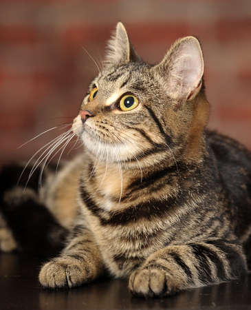 Mackerel Tabby Cat photo