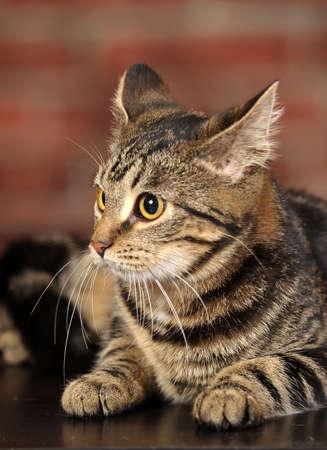 Mackerel Tabby Cat Stock Photo - 16841779