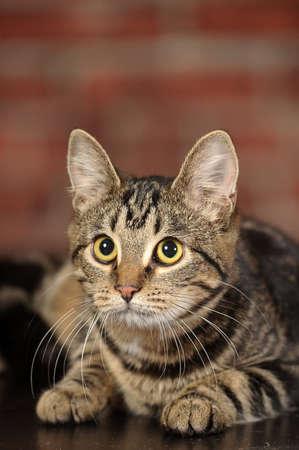 Mackerel Tabby Cat Stock Photo - 16841785