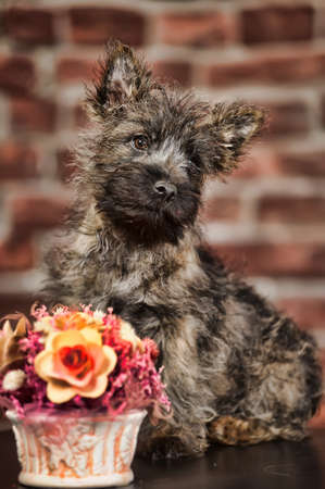 Terrier puppy photo