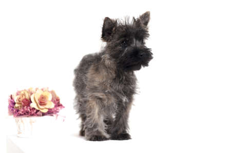 Terrier puppy Stock Photo - 17084876