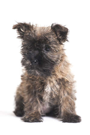 Terrier puppy Stock Photo - 17084903
