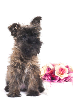 Terrier puppy and flowers photo